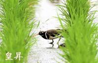これからこの♂と巣作りをしますが、何処がいいか回りながら探しています、作の広いフイ-ルドで撮るんだよ、上手く撮れたyoudana。 - 皇 昇