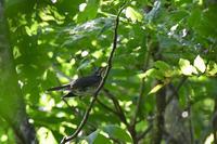 赤と黒  クロツグミ アカゲラ - 鳥さんと遊ぼう