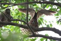 アオバズク親子 - 瑞穂の国の野鳥たち