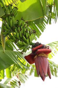 バナナ。 - 治華な那覇暮らし