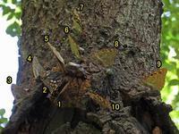集団のオオムラサキ - 秩父の蝶