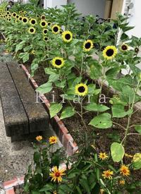 ヒマワリ!咲きました! - 花の庭づくり庭ぐらしガーデニングキララ