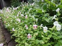 トレニア - だんご虫の花