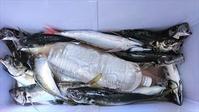 おかず釣り - 千葉県鴨川市太海港 幸昌丸       TEL 04-7092-1653