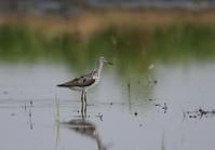 田んぼ巡りで逢えた鳥達(アオアシシギ) - 私の鳥撮り散歩