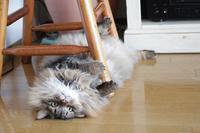 ころがる猫 - きょうだい猫と仲良し暮らし
