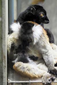 クロキツネザルの赤ちゃん - 動物園放浪記