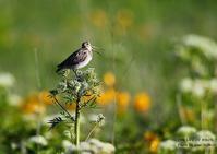 オオジシギは全長約30cm。《カミナリシギ》とも呼ばれる - THE LIFE OF BIRDS ー 野鳥つれづれ記