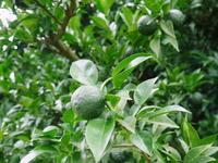 香り高き柚子(ゆず)平成30年の青柚子の出荷予定と現在の様子今のうち青唐辛子を購入しておいて下さい - FLCパートナーズストア