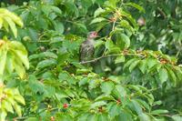 赤い実を食べるヒヨドリの若 - 近隣の野鳥を探して