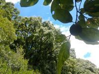 青柿の下で涼む… - 侘助つれづれ