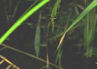 マルタンヤンマの産卵 - 加茂のトンボ (トンボ狂会)