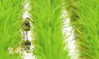 siriaru♂を多く作りペアリングし、その後は他の♂を何羽ともペアリング、子孫を残すための生き方です。いいね - 皇 昇