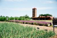 ラベンダーの隣りのネギ畑 - 照片画廊