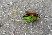 キンモウアナバチ - 虫と