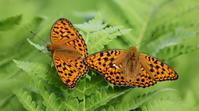 2018信州遠征追加 - 紀州里山の蝶たち