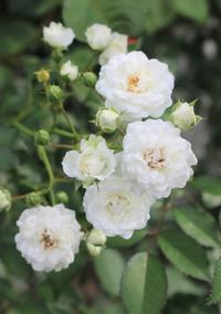"""白ブドウのようなバラ""""アルバメイディランド"""" - HOME SWEET HOME ペコリの庭 *"""