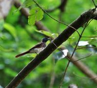 サンコウチョウ期待したが・・・ - 一期一会の野鳥たち
