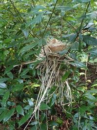 ウグイス 営巣放棄 托卵 - おらんくの自然満喫