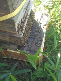 田舎便り112・・・元気一杯の蜜蜂たち - タワラジェンヌな毎日