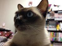 バーバラ曾祖母さん - MINKWIN Cattery &Pretty Aki