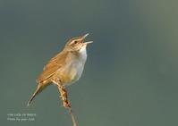 シマセンニュウの大きさや色彩は、ウグイスに似る - THE LIFE OF BIRDS ー 野鳥つれづれ記