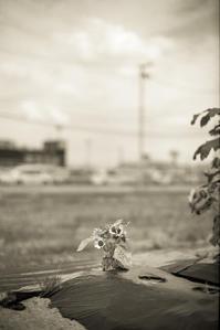 落ち着きのない小さな向日葵 - Film&Gasoline