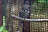 ガマグチヨタカ - 動物園へ行こう