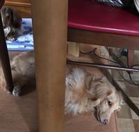椅子の下のクッキー - きょうのはなwithくるみ~愛犬写真日記~
