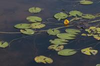 ベニオグラコウホネの池 - Mag's DiaryⅢ
