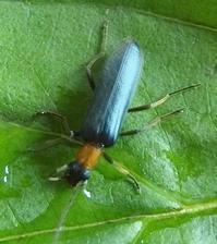 #甲虫『黄頸擬天牛』 Xanthochroa atriceps - 自然感察 *nature feeling*