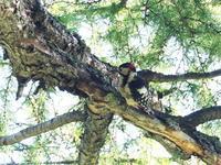 早朝のアカゲラ - コーヒー党の野鳥と自然 パート2