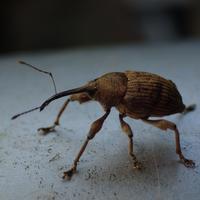 シギゾウムシの仲間 - 写ればおっけー。コンデジで虫写真