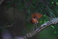 亜高山の夏鳥 その8 - 瑞穂の国の野鳥たち