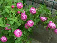 バラが咲いたよ/Roses are in bloom. - 花と天然石ハンドメイドジュエリー