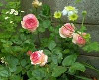 バラが咲いたよ/Pierre de Ronsard is in bloom too. - 花と天然石ハンドメイドジュエリー
