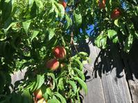 お隣さんの桃の木 - ちょっと田舎暮しCalifornia