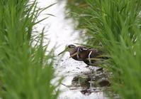 タマシギを撮る - 私の鳥撮り散歩