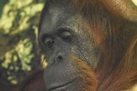 オランウータンとゴリラ - 動物園放浪記