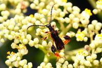 スネケブカヒロコバネカミキリ - Insect walk