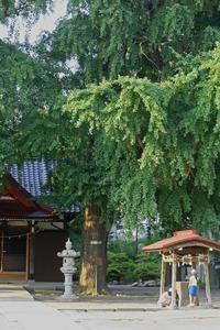 足立区で一番太い目通り銀杏@興野神社 - みるはな写真くらぶ