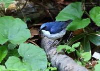 コルリは、ツグミの仲間 - THE LIFE OF BIRDS ー 野鳥つれづれ記