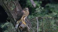 昨年の今頃のオオタカ幼鳥 - Life with Birds 3