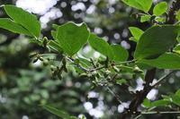 ■木の実18.8.2(ニシキギ、ヤマコウバシ、ウツギ) - 舞岡公園の自然2