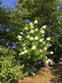 夏に咲く白い花 〜裏山のノリウツギ〜 - CROSSE 便り