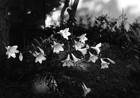 壁際に咲く百合 - 照片画廊
