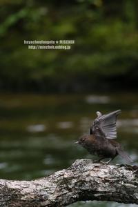 渓流の狩人カワガラス(幼鳥) - 花野鳥風月MISCHEH
