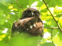 アオバズク - 今日の鳥さんⅡ