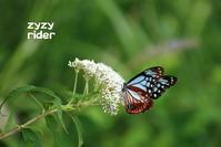 フワリと舞い降りる - ジージーライダーの自然彩彩