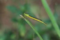 キイトトンボオス - 気まぐれ野鳥写真
